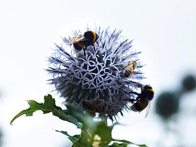 Distel mit Bienen und Hummeln - p897m1556681 von MICK