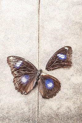 Dead butterfly - p971m1550375 by Reilika Landen