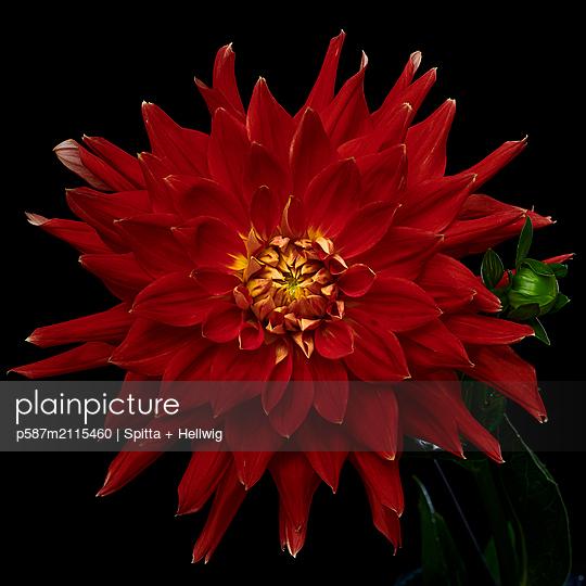 Red dahlia blossom - p587m2115460 by Spitta + Hellwig