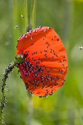 Poppy - p4170169 by Pat Meise