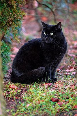 Porträt einer schwarzen Katze  - p299m1526220 von Silke Heyer