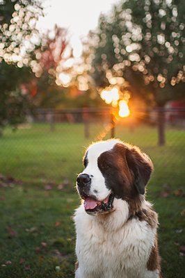 Close-up of Saint Bernard on grassy field at park - p1166m1547092 by Cavan Social