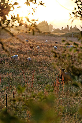 Flock of sheep grazing - p260m1161234 by Frank Dan Hofacker