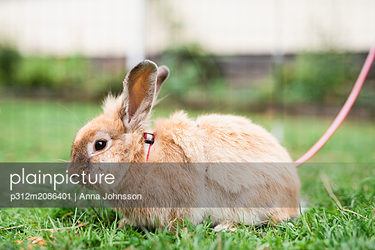 Rabbit on leash - p312m2086401 by Anna Johnsson