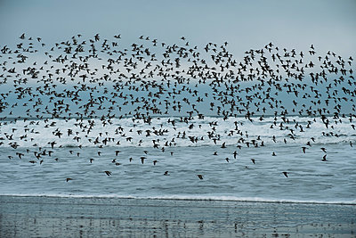 Flock of Sandpipers - p1262m1191166 by Maryanne Gobble