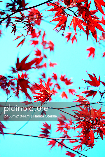 Japanese maple - p450m2184471 by Hanka Steidle