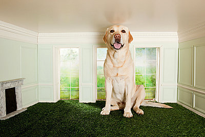 Big dog in a small room - p9245569f by Image Source