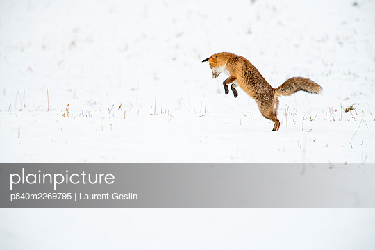 Red fox (Vulpes vulpes) hunting, pouncing on rodent prey under snow, Jura, Switzerland - p840m2269795 by Laurent Geslin