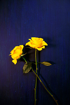 Two yellow roses against blue background - p1248m2270279 by miguel sobreira