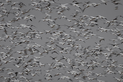 Snow Geese blast off from a field - p1480m2148244 by Brian W. Downs