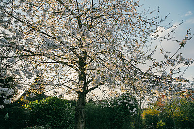 Blossoming cherry tree - p300m1460611 by Mareen Fischinger