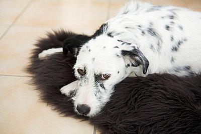 Dog lying on a fur - p3670066 by Tim Kubach