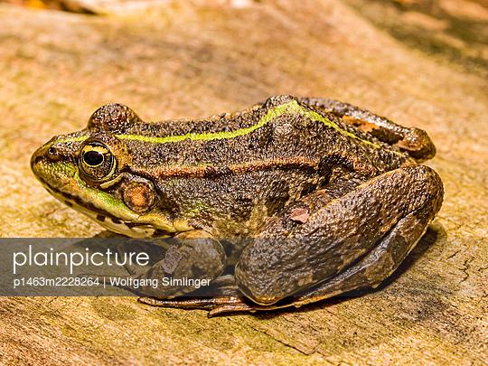 Seefrosch, Pelophylax ridibundus - p1463m2228264 von Wolfgang Simlinger