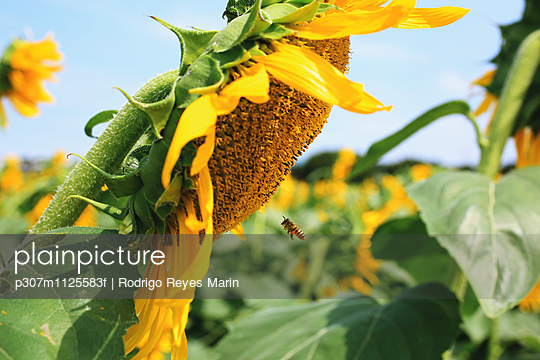 Bee flying on a sunflower