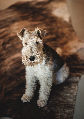 Airedale-Terrier - p1640m2242067 by Holly & John