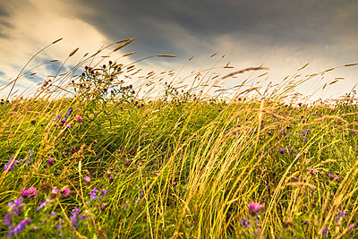 Tall grasses and wildflowers grow in a field along the Atlantic coast; Bonavista, Newfoundland, Canada - p442m1580400 by Aaron Von Hagen