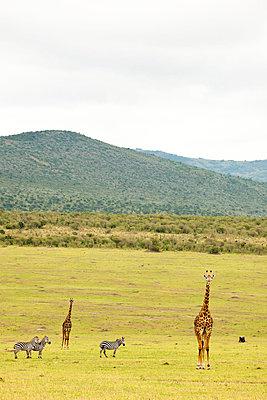 Masai Mara National park, Kenya - p5330381 by Böhm Monika