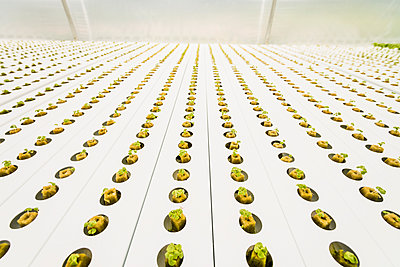 Rows of green seedlings in greenhouse - p555m1305381 by Mark Edward Atkinson/Tracey Lee