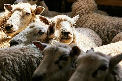 Sheep - p913m807897 by LPF