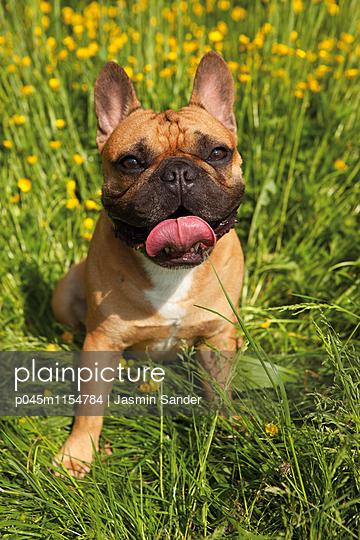 Potrait einer Französische Bulldogge - p045m1154784 von Jasmin Sander