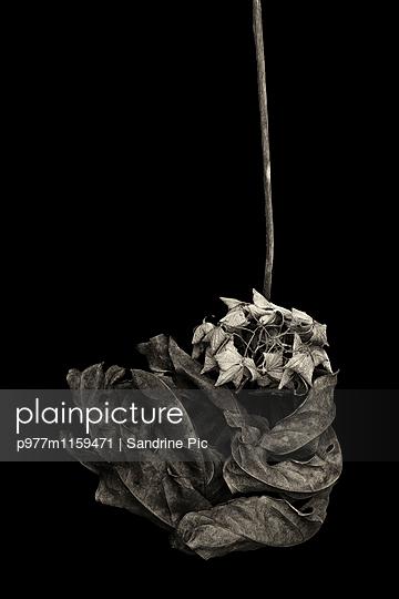 Vertrocknetes Blatt auf schwarzem Hintergrund - p977m1159471 von Sandrine Pic