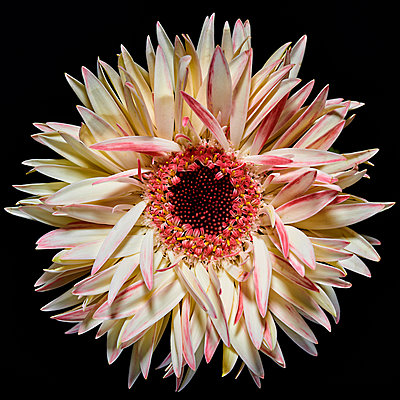 Two-coloured Gerbera - p587m2115457 by Spitta + Hellwig