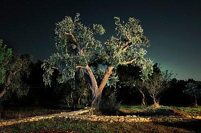 Large olive tree illuminated  - p1072m829453 by Neville Mountford-Hoare