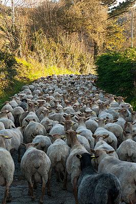 Schafherde im Baskenland - p470m1043013 von Ingrid Michel