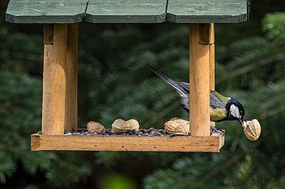 Great tit eating piece of peanut in a birdhouse - p300m1028794f by Melanie Kintz