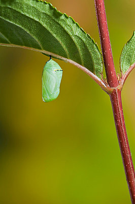 Monarch butterfly's newly formed chrysalis begins the pupal stage of its life cycle. Summer, Nova Scotia.  Series of 5 images. - p6072133 by Thomas Kitchin & Victoria Hurst