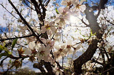 Almond tree - p8850232 by Oliver Brenneisen
