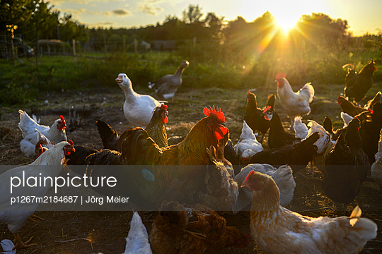 Chicken farm - p1267m2184687 by Wolf Meier