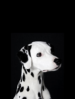 Dalmatian - p1042m891228 by Cardinale