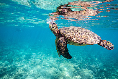 Sea turtle comes up for breathe while swimming in the oahu ocean - p1166m2216695 by Cavan Images