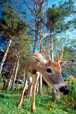 Fawn - p2002616 by Christian Lamontagne