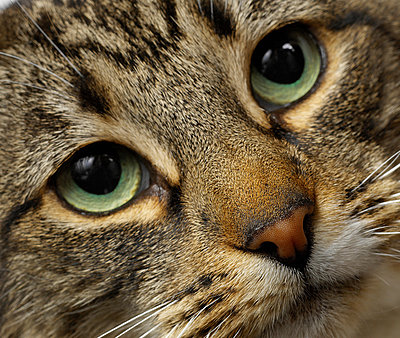 Close up of cat's face - p429m824392f by Simon Murrell