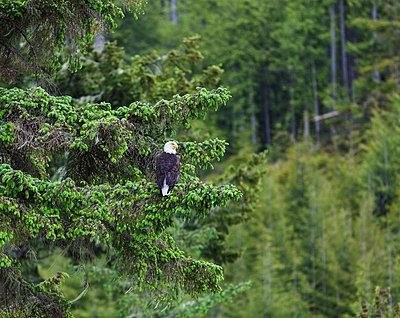 A bald headed eagle perches on a fir tree in the rainforest in the broughton archipeligo; british columbia canada - p442m700162f by Debra Brash