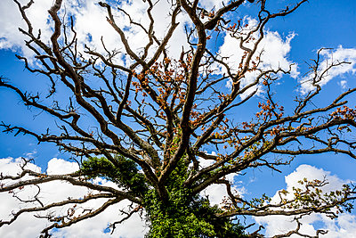 Old gnarled tree set against a blue sky with white clouds - p1057m2008288 by Stephen Shepherd