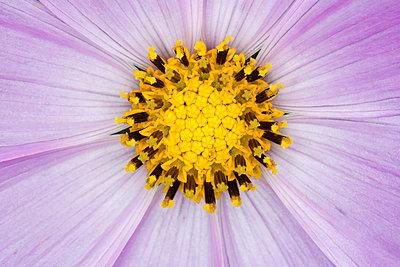 Blütenstempel - p1057m851461 von Stephen Shepherd