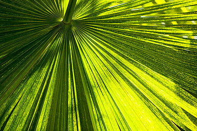 Close-up of palm leaf on sunny day - p1166m985670f by Cavan Images