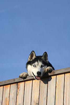 Hund schaut übern Zaun - p2430385 von Claudia Anys