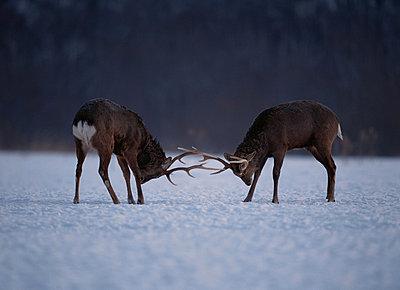 Male Hokkaido Sika deer fighting on snowy field, Kushiro, Hokkaido, Japan - p5144576f by ASO FUJITA