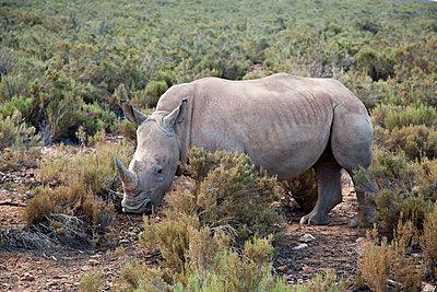 Nashorn in Südafrika - p712m1159981 von Jana Kay