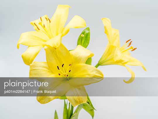 Yellow lilies - p401m2284147 by Frank Baquet