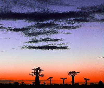 Baobabs auf Madagaskar - p1016m792553 von Jochen Knobloch