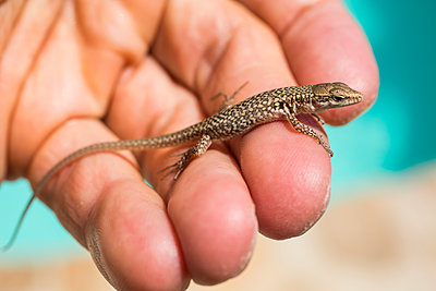 Lizard on palm of the hand - p628m1476244 by Franco Cozzo