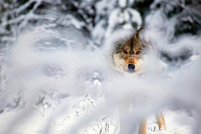 Wolf - p4420979f by Design Pics