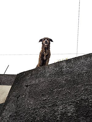 Dog looking over stone wall  - p1280m2193414 by Dave Wall