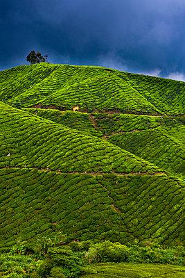 Detail of a tea plantation - p30119774f by Lothar Schulz