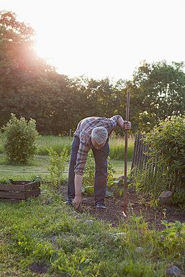 Mature man gardening in community garden - p301m961051f by Halfdark
